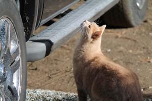 Elliott, the resident cat, inspects my truck.